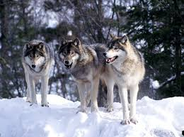 gray wolf pack. Contemporary Pack Nursery Rhymes And Fairy Tales Depict Wolves As U201cbig Badu201d In Reality  Are Shy Much More Afraid Of Us Then We Them Inside Gray Wolf Pack
