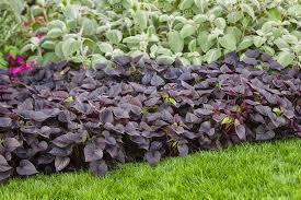 purple sweet potato plant.  Purple Pvg_gardens_054jpg For Purple Sweet Potato Plant A
