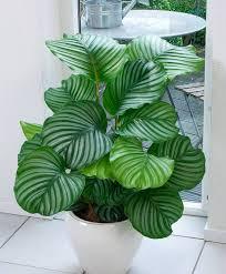 Accessories: Senecio Rowleyanus Hanging House Plant - Plants