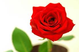 「赤い薔薇」の画像検索結果