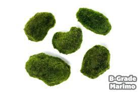 outstanding marimo moss ball b grade giant moss 2 3 inches marimo moss ball terrarium