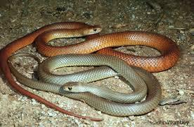 Snake Identification Chart Snake Identification What Snake Is That