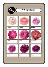 Ranunculus Cloni pink and lilac collection | Drawing & Illustration ...
