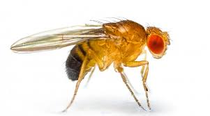 fruit flies in the laboratory stories org shutterstock