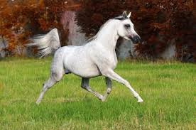 Image result for arabian Horses