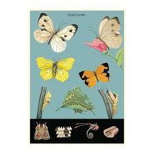 Cavallini Butterfly Chart 2 Poster