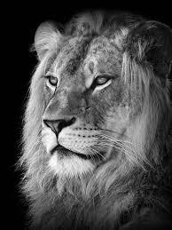 lion portrait black and white. Unique Black Portrait Of A Lion In Black And White For E