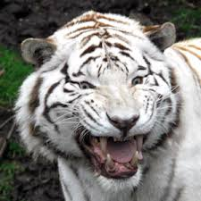 white tiger growling.  White Picture Showing White Tiger Roaring In Growling G