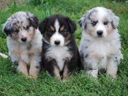 baby australian shepherd. Fine Shepherd Miniature Australian Shepherd Puppies For Baby Shepherd M