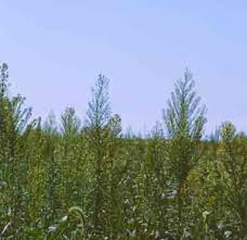 Why Has Horseweed Marestail Become A Concern