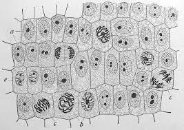 النواة هي تركيب يتحكم في جميع انشطة الخلية – فهرس