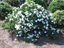 gardenia jasminoides crown jewel cape jasmine crown jewel crown jewel cape jasmine cape