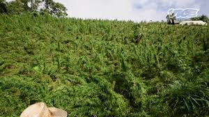 Image result for colombia cannabis