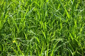 tall green grass field. Full Size Tall Green Grass Field H