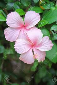 Light Pink Hibiscus Two Colorful Sweet Light Pink Hibiscus Rosa Sinensis Flowers