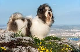 best small dog breeds for kids havanese