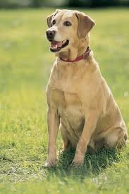 american yellow lab puppies. Simple American Can You Pinpoint The Differences Between American And English Labs To Yellow Lab Puppies R