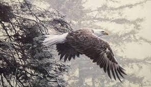 Image result for bald eagle flying