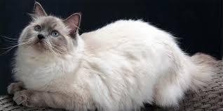 Ragdoll Cat With Blue Eyes Dinoanimals Com