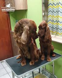 Pin by Polly Benson on Ierse Setter in 2020 | Irish setter puppy, Setter  puppies, Irish setter