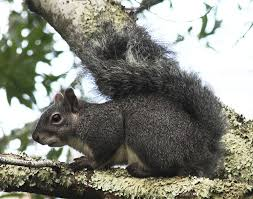 Western Gray Squirrel Wikipedia