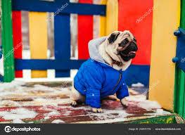 Pug Dog Winter Clothes Sitting ...