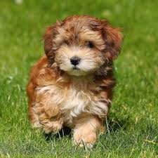 Small Picture Havanese Puppies difficult to housetrain But they dont shed