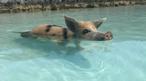 What To Expect If You Book A Swimming With Pigs Tour In The