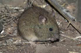 Rodents Lower Classifications Oryzomys Alchetron The Free Social Encyclopedia