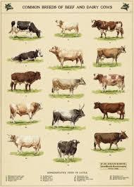 Cavallini Co Cow Chart Decorative Paper Sheet Poster Wrap