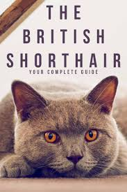 British Shorthair Weight Chart Kg British Shorthair A Complete Guide From The Happy Cat Site