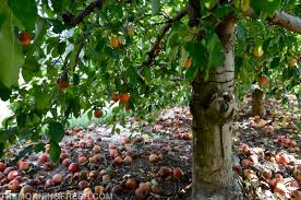 102 Best Fruit Tree Images On Pinterest  Fruit Trees Exotic Fruit Trees That Grow In Nc