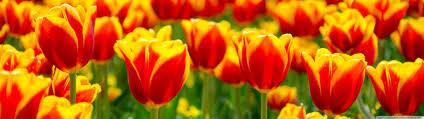 spring tulip desktop wallpaper. Beautiful Desktop Dual HD 169 Intended Spring Tulip Desktop Wallpaper S