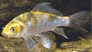 Murray Cod Growth Chart General Information About Carp