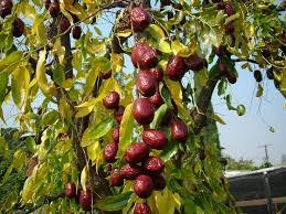 SubTropical Fruit TreesSouthern California Fruit Trees