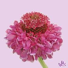 Scabiosa Floral Design The Scabiosa A Forgotten Flower Article On Thursd