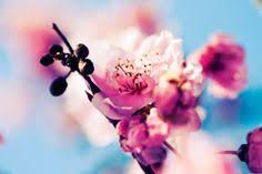 cherry blossom in an cherry blossoms cherry blossom pictures cherry blossom background cherry