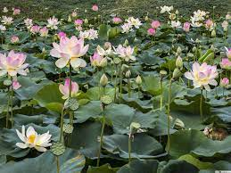 Lotus Flowers and Water Lilies HD ...