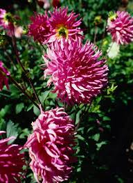 what point of view is the story the chrysanthemums in harper s magazine published the chrysanthemumsrdquo