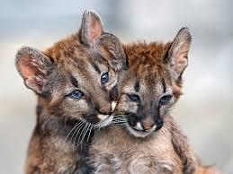 Bilderesultat for pics of cougars