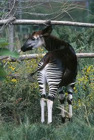 Image of: Funny Rare Cousin To The Giraffe Found Scienceblogs Rare Cousin To The Giraffe Found Scienceblogs