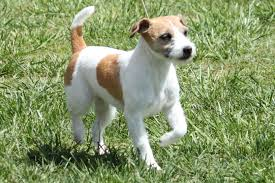 Jack Russell Terrier Breed Information Jack Russell Terrier