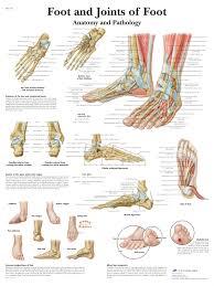 Foot Organ Chart Foot And Joints Of Foot Chart