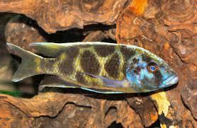 Malawi Cichlids Haplochromis Cichlids Haps Fish