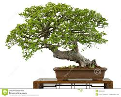 very old chinese elm as bonsai tree chinese elm bonsai tree