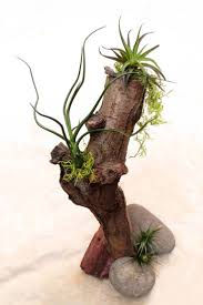 air plant tillandsia wedding centerpiece on tree trunk Ms