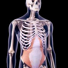 The slab will taper off at one end , with a more pronounced curvature where it meets the spine. Abdominal Muscles Location And Function