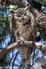 plucked owl. Fine Owl One Morning I Watched As Ms Owl Idly Plucked A Feather From Her Shoulder  She Transferred It To One Of Feet Stared At For Second And Then  Throughout Plucked O