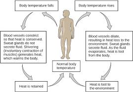 homeostasis definition. homeostatic responses in temperature regulation homeostasis definition