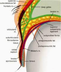 Eyelid Anatomy Eyelid Anatomy Under Fontanacountryinn Com